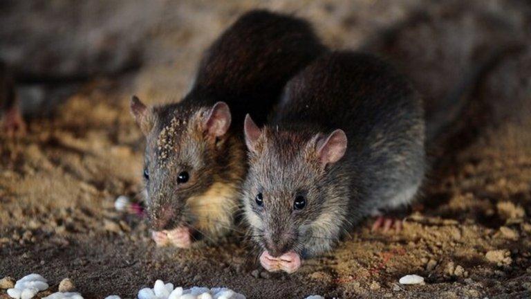 La ciudad de Nueva York sufre un brote de una rara enfermedad relacionada con ratas